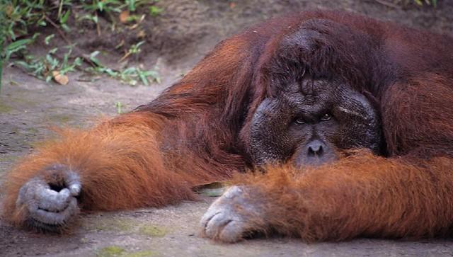 Orangutan King Kusasi, Orangutan King...