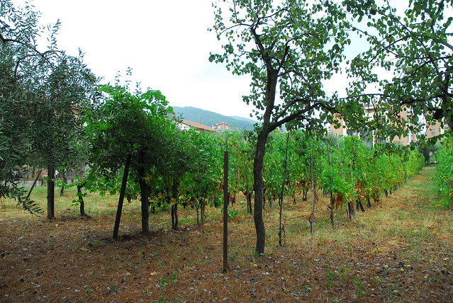 grape orchards out back | Flickr - Photo Sharing!