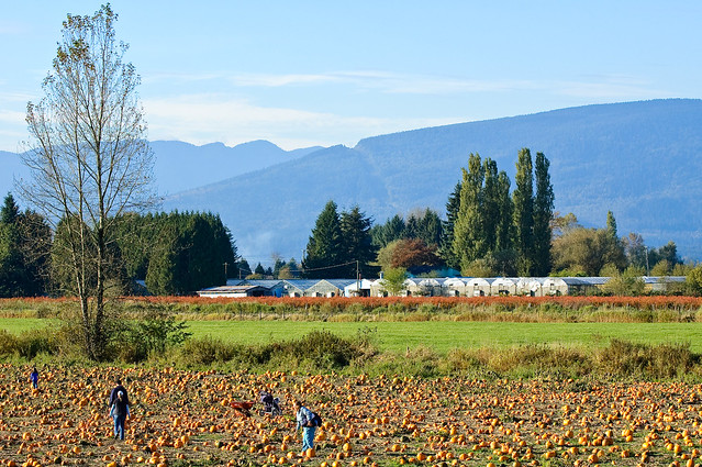 Laity Pumpkin Patch, Maple Ridge, BC With Golden Ears