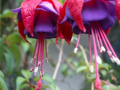 flower, plant, macro photography, flora, fuchsia, pink, petal,