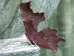 Incredibly smart dead leaf moth