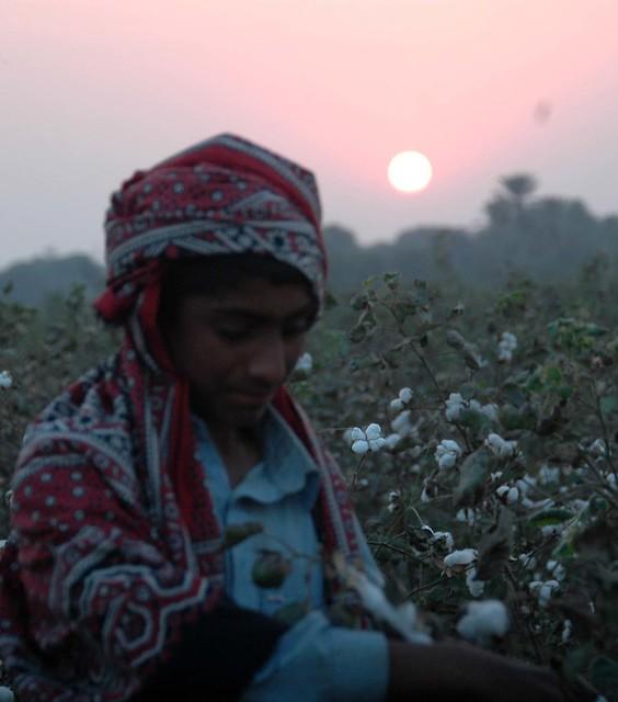 Sunrise and cotton-picking ©jahangir khan