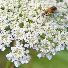 Soldier beetle or leatherwing