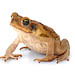 Cane Toad - Photo (c) Sam Fraser-Smith, some rights reserved (CC BY)