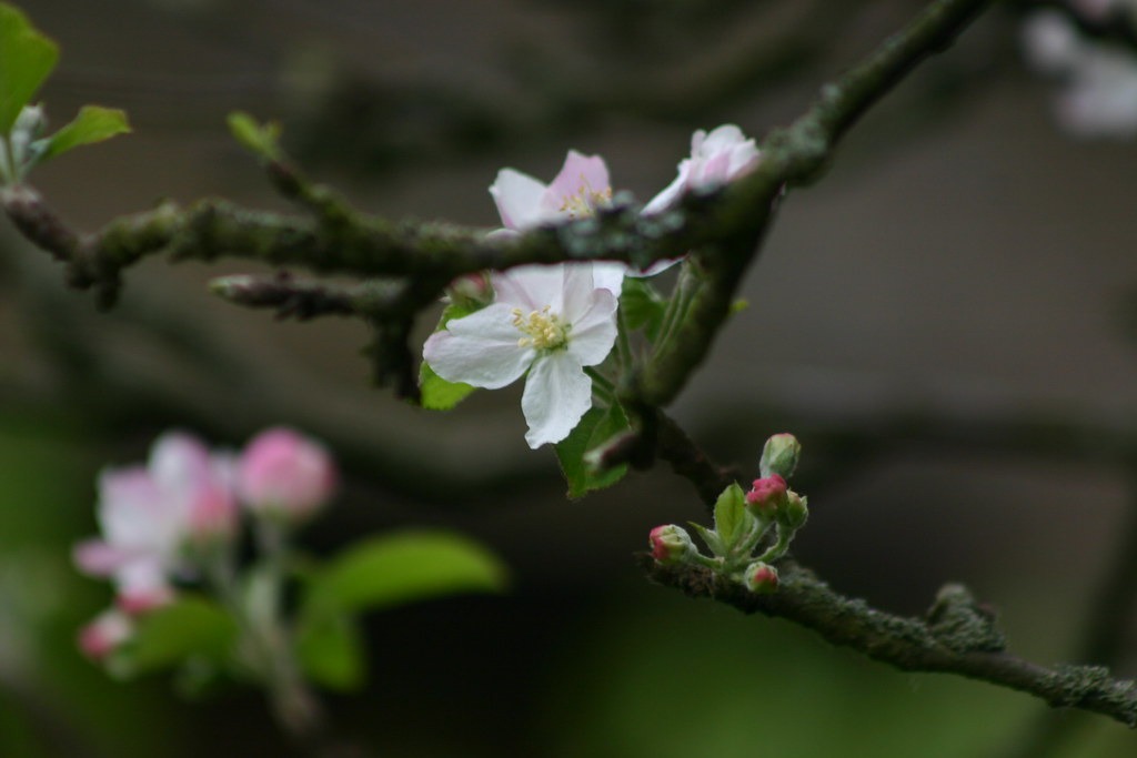 The only apple blossom left in Pluckley
