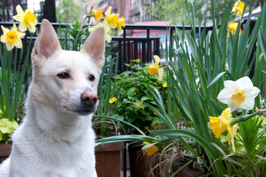 Oz Amongst the Daffodils 1