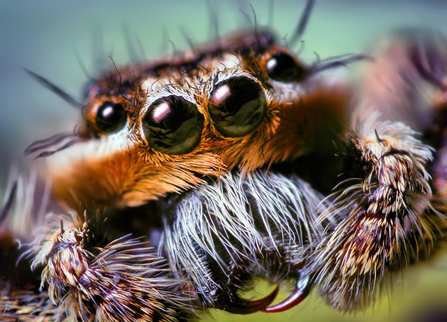 Male Platycryptus undatus Jumping Spider