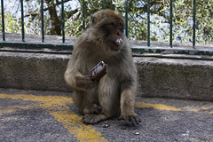 baboon(0.0), tufted capuchin(0.0), wildlife(0.0), animal(1.0), monkey(1.0), mammal(1.0), fauna(1.0), old world monkey(1.0), new world monkey(1.0), macaque(1.0),