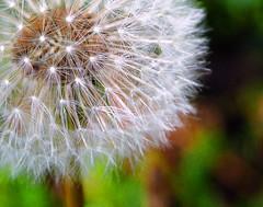 dandelion cropped2