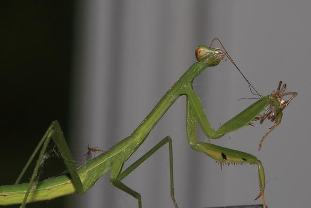Praying Mantis eating a spider | Flickr - Photo Sharing!