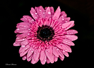 Gerbera in Rains