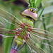 Common Green Darner - Photo (c) Lisa Brown, some rights reserved (CC BY-NC)