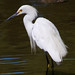 Egretta - Photo (c) Nick Chill, some rights reserved (CC BY-NC-ND)