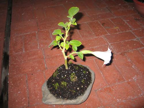 engelstrompete als bonsai ziehen pflegen schneiden veredeln green24 hilfe pflege bilder. Black Bedroom Furniture Sets. Home Design Ideas