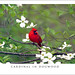 Cardinal_In_Dogwood by Buffalo Ridge Shutterbug