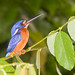 Blue-eared Kingfisher - Photo (c) Paulo Philippidis, some rights reserved (CC BY)