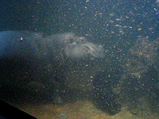 Image of Adventure Aquarium. philadelphia newjersey camden philly hippo camdennj adventureaquarium chrisinphilly5448 christopherwoodsphotography