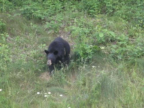 Black bear in Shenandoah