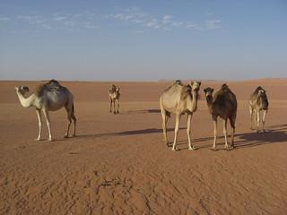 camels algeria