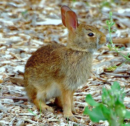 Baby cottontail rabbit - photo#21