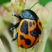 Milkweed Leaf Beetle - Photo (c) Jerry Oldenettel, some rights reserved (CC BY-NC-SA)