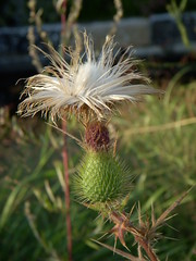 Flowers at North Point Park - Giant dandelion (??) with spiky green pod thing
