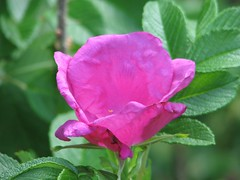 shrub(0.0), garden roses(0.0), floribunda(0.0), rosa acicularis(0.0), flower(1.0), rosa gallica(1.0), rosa rubiginosa(1.0), macro photography(1.0), flora(1.0), rosa rugosa(1.0), petal(1.0),
