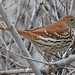 Brown Thrasher - Photo (c) Jerry Oldenettel, some rights reserved (CC BY-NC-SA)