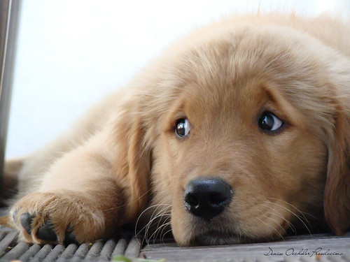 Pictures Of Sad Puppy Dog Eyes Golden Retriever Rock Cafe