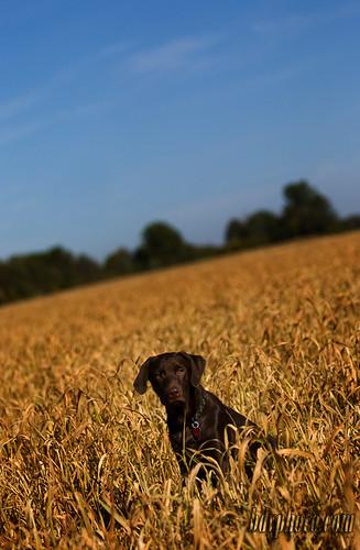 dog water field grass yellow river puppy beans puppies lab chocolate wheat soybean adobebridge labradour dockfarmer