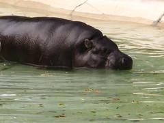 Swimming Hippopotamus