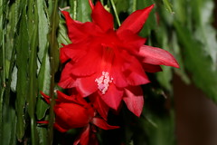 flower, red, epiphyllum, plant, flora,