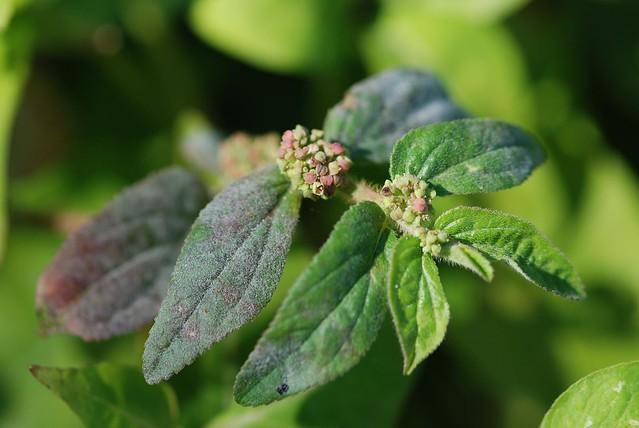 euphorbia hirta linn Review of the phytochemical and pharmacological activities  pharmacological activities of euphorbia hirta  phytochemical and pharmacological activities of.