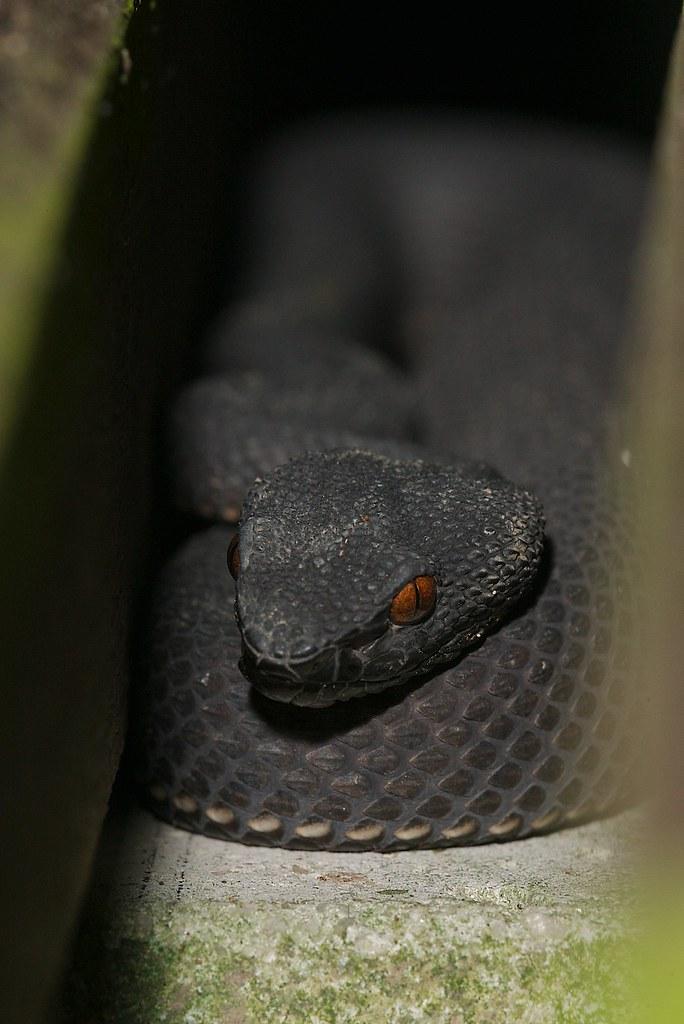 Shore pit viper. Trimeresurus pupureomaculatus. Venomous.