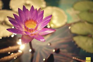 live like a lotus