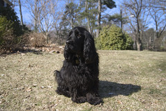 dog breed, animal, dog, boykin spaniel, pet, spaniel, american water spaniel, carnivoran,
