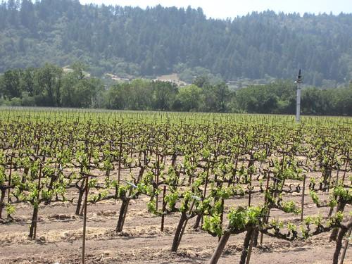 napa, calistoga, grape vines IMG_2679