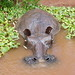 Small photo of Hippo in Pool, Akamba Migration Garden