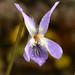 Viola riviniana1 by anpena