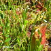 Pitcher Plant Trail