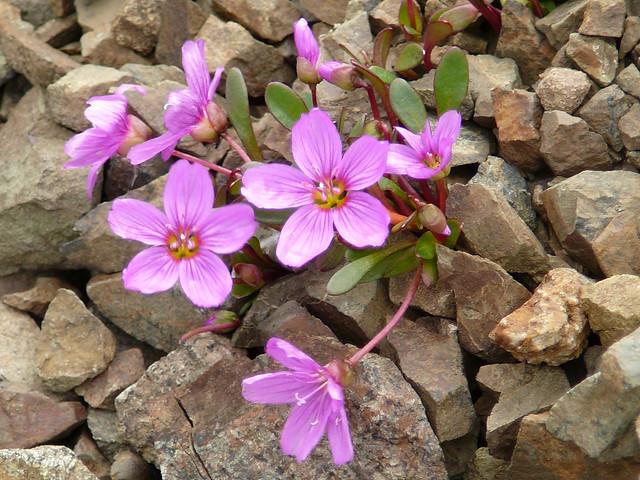 Tundra Wildflowers | Flickr - Photo Sharing!