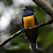 Guianan Trogon - Photo (c) David Cook Wildlife Photography, some rights reserved (CC BY-NC)