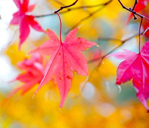 Japanese Maple Leaf Autumn