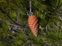 arecales(0.0), fauna(0.0), larch(1.0), evergreen(1.0), flower(1.0), branch(1.0), pine(1.0), leaf(1.0), tree(1.0), nature(1.0), flora(1.0), conifer cone(1.0), fir(1.0), spruce(1.0),