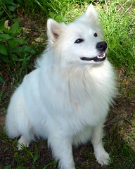 dog breed, animal, german spitz klein, dog, japanese spitz, pet, volpino italiano, german spitz, white shepherd, berger blanc suisse, german spitz mittel, carnivoran, american eskimo dog, samoyed,