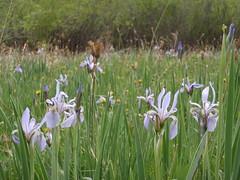 iris, prairie, flower, field, iris versicolor, wildflower, flora, natural environment, grassland,