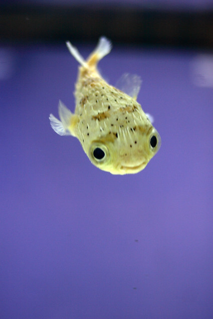 Porcupine puffer flickr photo sharing for Puffer fish puffing