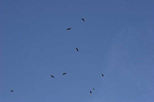 nine huge birds of prey overhead    MG 2075