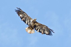 harrier, animal, hawk, bird of prey, eagle, wing, fauna, buzzard, accipitriformes, kite, beak, bird, flight,