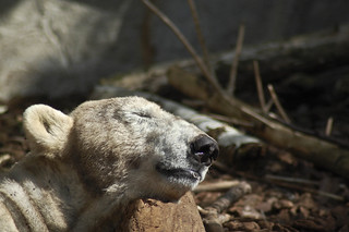Image of NAP. bear amsterdam animals zoo polar artis dierentuin